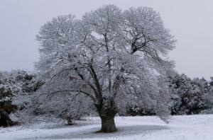 Castiñeiro nevado