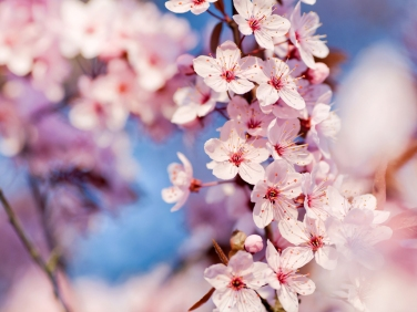 Flor da Cerdeira