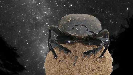 Os escaravellos parecen ser máis intelixentes do que pensábamos.