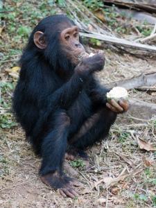 Ein juveniler Schimpanse isst eine Frucht im Gombe Stream National Park